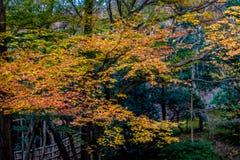 Esdoornboom in de winterglorie Stock Foto's