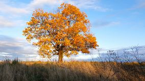 Esdoornboom die de kleuren van de herfst tonen stock video