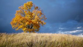 Esdoornboom die de kleuren van de herfst tonen vóór regen stock video