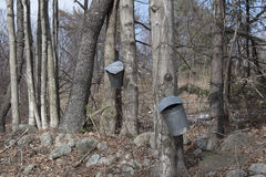 Esdoornboom die voor Stroop onttrekken Royalty-vrije Stock Foto