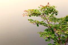 Esdoornboom door de oever van het meer Stock Afbeeldingen