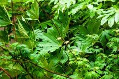 Esdoornboom en ander Bomengebladerte royalty-vrije stock afbeeldingen