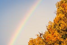 Esdoornboom en een regenboog Stock Afbeeldingen