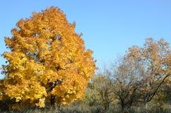 Esdoornboom met gele bladeren in de herfstaard Stock Afbeeldingen