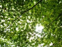 Esdoornboom met groen blad Stock Foto