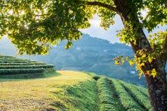 Esdoornboom op de heuvel Stock Foto's