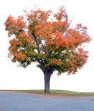 Esdoornboom op Witte Achtergrond wordt geïsoleerd die Stock Afbeeldingen