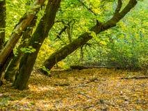Esdoornbos in de herfst Stock Afbeelding