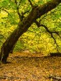 Esdoornbos in de herfst Stock Fotografie