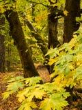 Esdoornbos in de herfst Royalty-vrije Stock Afbeeldingen