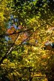 Esdoorns en elzen in de herfst Stock Foto