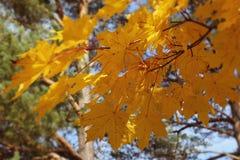 Esdoorntak met geel bladerenclose-up tegen de blauwe hemel stock afbeeldingen