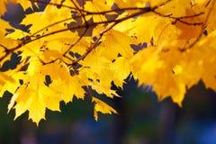 Esdoorntak met gouden bladeren Royalty-vrije Stock Foto's