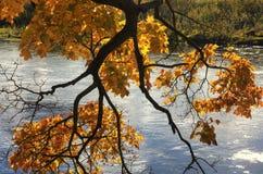 Esdoorntak met vele bladeren op een zonnige de herfstdag stock fotografie