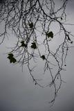 Esdoorntakken en bladeren Stock Foto
