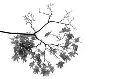 Esdoorntakken en bladeren Stock Afbeeldingen