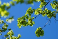 Esdoorntakken met jonge groene bladeren royalty-vrije stock foto