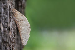 Esdoornzaad in boomcork in het park Royalty-vrije Stock Fotografie