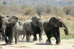 Esecuzione degli elefanti immagine stock libera da diritti