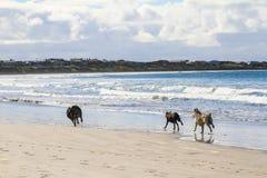 Esecuzione dei cani sull'inseguimento della spiaggia sabbiosa Fotografia Stock Libera da Diritti