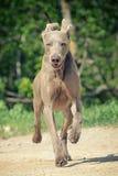 Esecuzione del cane di Weimaraner Fotografie Stock