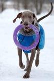 Esecuzione del cane di Weimaraner Fotografie Stock Libere da Diritti
