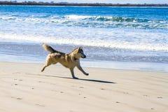 Esecuzione del cane sull'inseguimento della spiaggia sabbiosa Immagini Stock