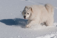 Esecuzione, doggy, esecuzione! Fotografie Stock