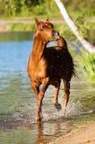 Esecuzioni arabe dello stallion del cavallo della castagna in acqua Immagine Stock