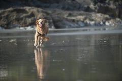 Esecuzioni del cane verso la macchina fotografica 2 Fotografia Stock
