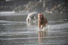 Esecuzioni del cane verso la macchina fotografica 3 Immagini Stock