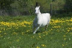 Esecuzioni del cavallo bianco Fotografia Stock Libera da Diritti