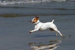 Esecuzioni felici del cane sulla spiaggia Fotografie Stock Libere da Diritti