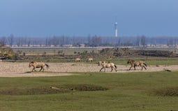 Eseguire i cavalli di Konic nel Oostvaardersplassen Fotografie Stock