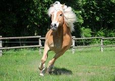 Eseguire il cavallo di Haflinger fotografie stock libere da diritti