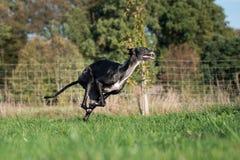 Eseguire sighthound nero immagine stock