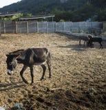 Esel auf Bauernhof September 2015 Lizenzfreie Stockbilder