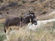 Esel auf dem Gebiet Stockfotos