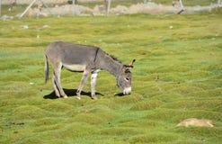 Esel auf dem Gebiet stockfoto