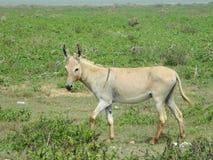 Esel auf dem Gras Stockfoto