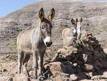 Esel auf den Kanarischen Inseln Stockbilder