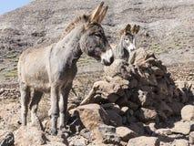 Esel auf den Kanarischen Inseln Lizenzfreie Stockfotografie