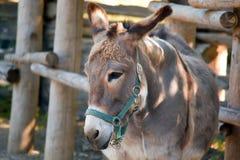 Esel auf einem Bauernhof Lizenzfreie Stockfotos