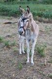Esel auf einem Gebiet am sonnigen Tag Lizenzfreies Stockfoto