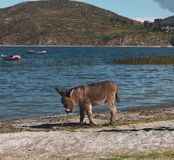 Esel auf einem Gebiet von Salar de Uyuni in Bolivien stockfotografie