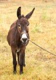 Esel auf einer Leine Stockbild