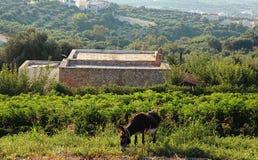 Esel auf Landschaftslandschaft, Kreta, Griechenland Stockbilder