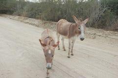 Esel auf Straße Lizenzfreies Stockfoto