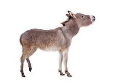 Esel auf Weiß Lizenzfreie Stockfotos