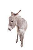 Esel auf Weiß Lizenzfreie Stockbilder
